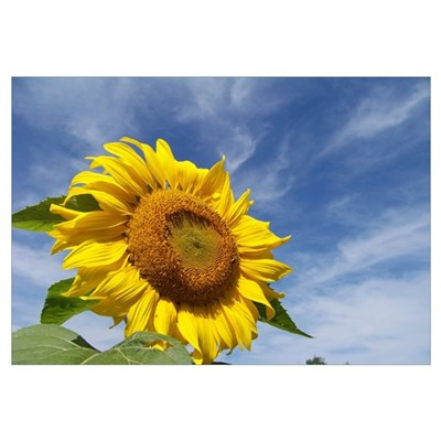 Sunflower Zen Canvas Art