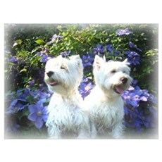Laughing Westies Poster