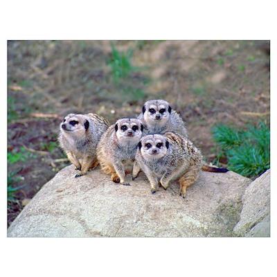 4 Meerkats Peering Poster