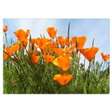 California poppy Wrapped Canvas Art