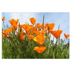 Poppies Landscape Canvas Art