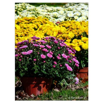 COLORFUL MUMS Framed Print