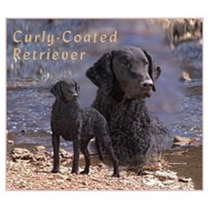 Curly Coated Retriever-2 Poster