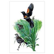 Red Winged Blackbird Framed Print