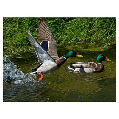 Mallard Take-off Canvas Art