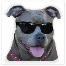 Pitbull in sunglasses Framed Print