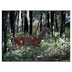Deer 14 Poster