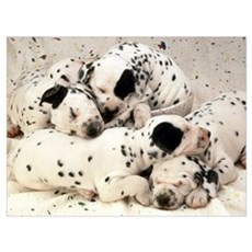 DALMATION PUPPY PILE Poster