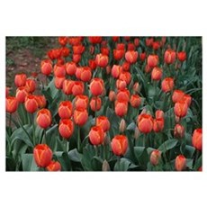 Tulips for Everyone Framed Print