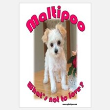 Maltipoo What's not to Love?