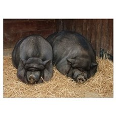 Pot Bellied Pigs, Big BACON Poster