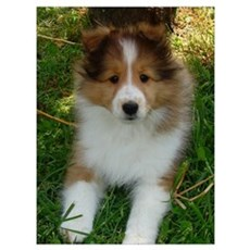 TLC OASIS SHELTIES Poster