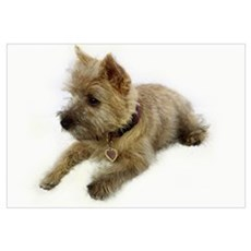Cairn Terrier Puppy Poster