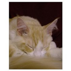 'Pink' Maine Coon Cat Snoozing Poster
