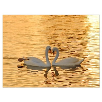 Swan Couple at Sunset Poster
