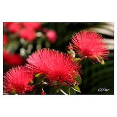 Lehua Blossom Poster