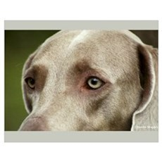 Weimaraner - The Eyes Have It Poster
