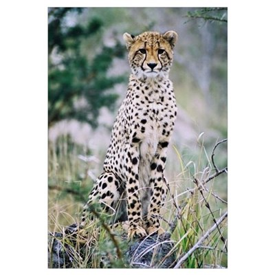 A Wwild Cheetah in Africa. Framed Print