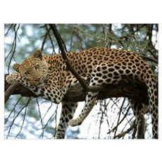 LEOPARD - PANTHERA PARDUS Canvas Art