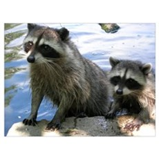 Racoon Buddies Poster