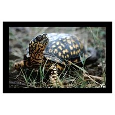 Eastern Box Turtle Print Poster