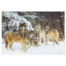 """""""Wolf Pack"""" 9x12"""