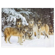 """Wolf Pack"" 9x12 Framed Print"