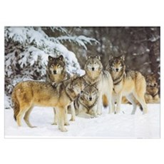 """Wolf Pack"" 9x12 Poster"