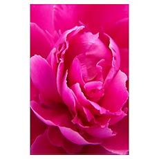 Maine Peony Perennial Blossom Poster