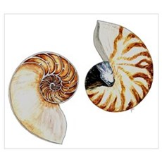 Chambered Nautilus 10X14 Poster