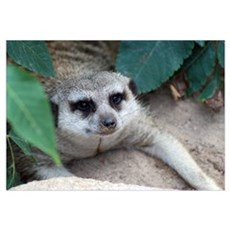 Smiling Meerkat Canvas Art