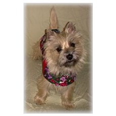 Quizzical Cairn Terrier Poster