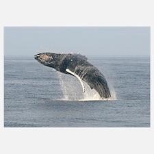 -Whale (Humpback)