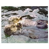 Sea otter pictures Framed Prints