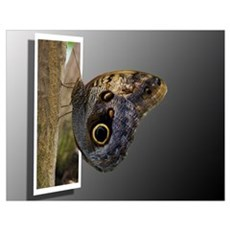 Morpho Butterfly Entering Poster