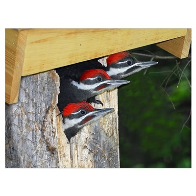 3 Pileated Woodpecker babies Framed Print