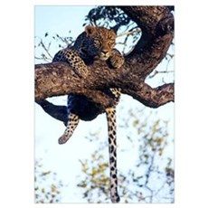 Wild African Leopard Poster