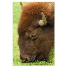Bison Grazing Poster