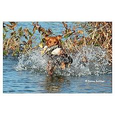 Golden Retreiving Duck Poster
