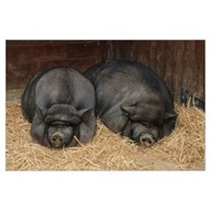 Pot Bellied Pigs in a Barn Poster