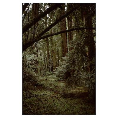 Redwoods Muir Woods Poster