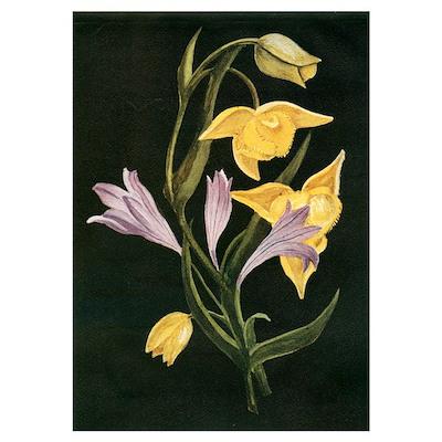 Calocortus & Brodiaea Poster