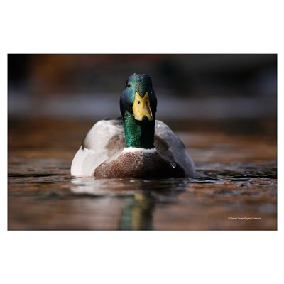 Swimming Duck Photo Poster
