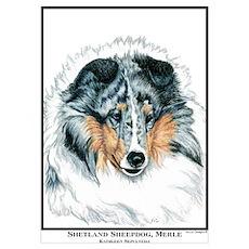 Blue Merle Shetland Sheepdog Poster