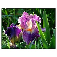 0459 Purple Iris Poster