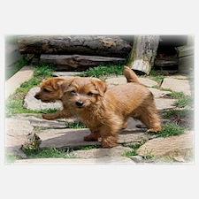 Norfolk Terrier Playmates