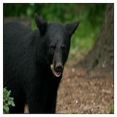 black bears Poster