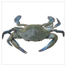 Chesapeake Bay Blue Crabs Poster