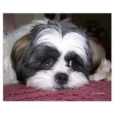 Cute Shih Tzu Dog Canvas Art