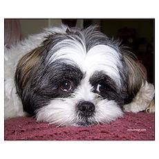 Cute Shih Tzu Dog Poster